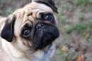 Top 10 raças de cães mais caras do mundo